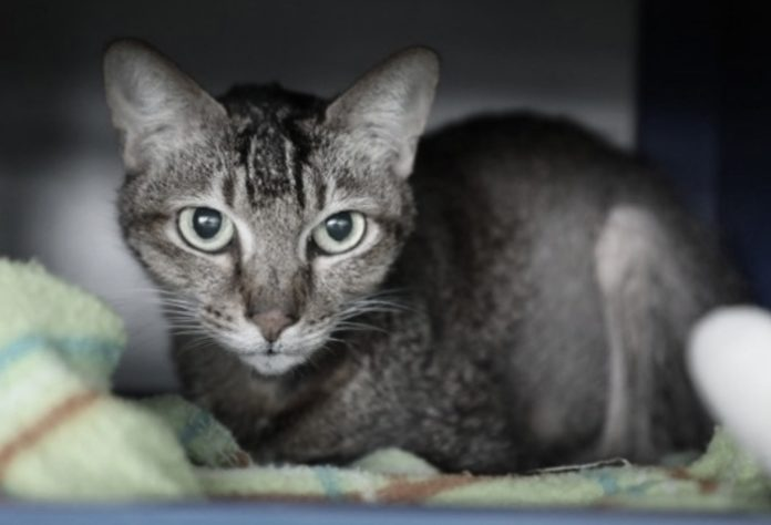 kucing terinfeksi Covid-19